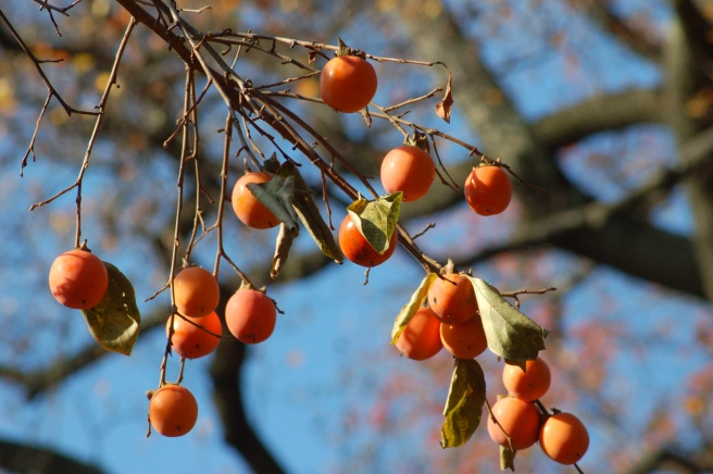asian_persimmons_517857